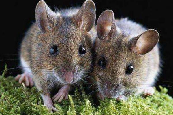 Cách đuổi chuột trên trần nhựa tại Hà Nội