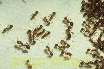 Dịch vụ diệt kiến tại Đan Phượng Hà Nội